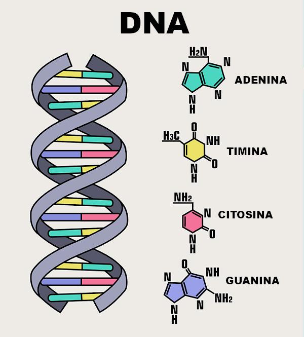 Observe acima o esquema de uma molécula de DNA.
