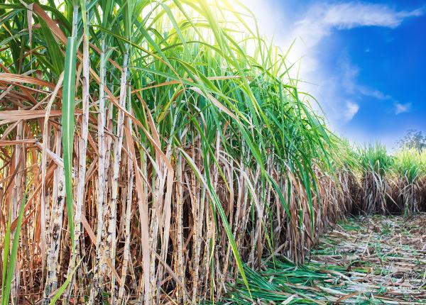 O plantio da cana-de-açúcar foi a primeira atividade econômica após o processo de colonização do Nordeste.