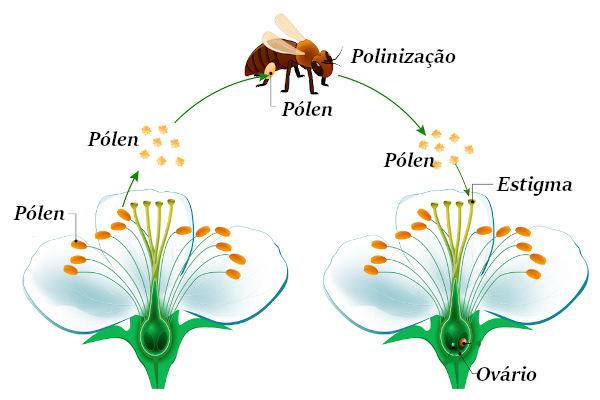 As abelhas são fundamentais para a polinização de várias espécies de angiospermas.