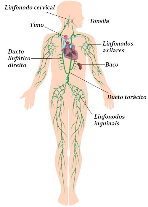 Observe os principais componentes do sistema linfático.