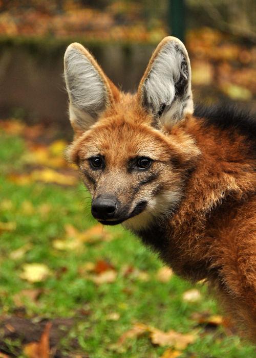 O lobo-guará é um animal solitário e mais ativo ao entardecer e à noite.