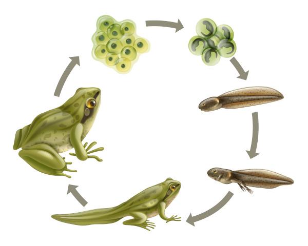 Observe o ciclo de vida do anuro, o qual envolve uma fase larval aquática e um adulto que vive no ambiente terrestre.