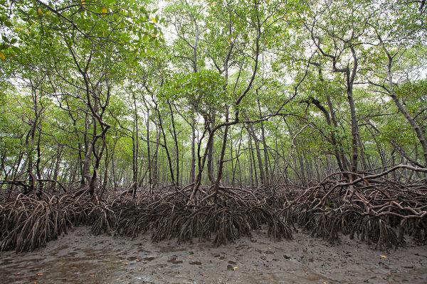 O mangue, ecossistema presente no litoral pernambucano, deu nome à renovação cultural do mangue beat.