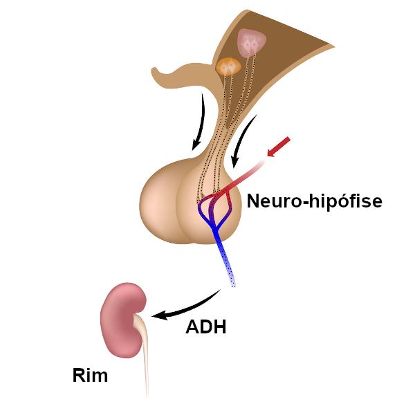 O ADH é produzido no hipotálamo e secretado pela neuro-hipófise. Sua principal ação é nos rins.