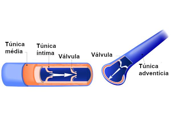 As veias apresentam três camadas formando sua parede: túnica íntima, túnica média e túnica adventícia.