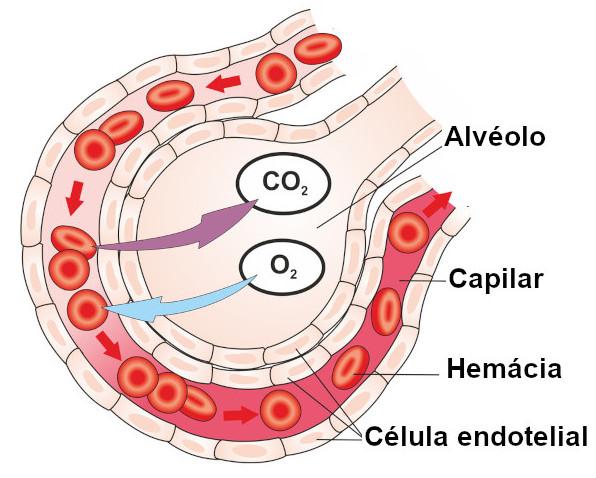Nos alvéolos pulmonares, ocorre o processo de trocas gasosas.