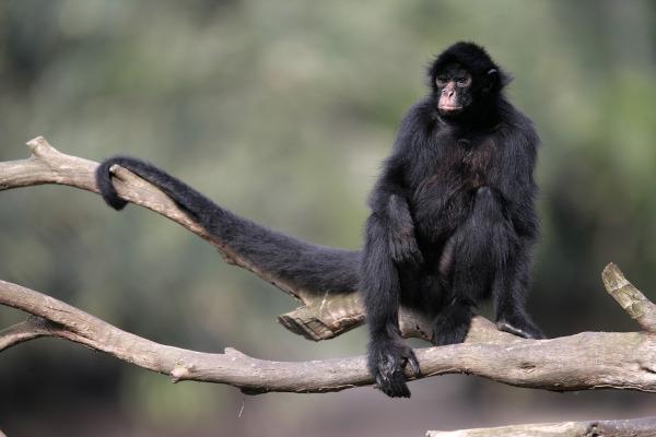 O macaco-aranha-de-cara-preta é um exemplo de macaco, logo, também é um primata.