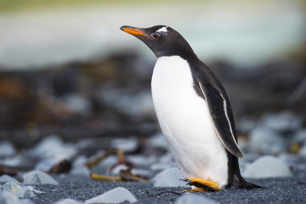A maioria das espécies de pinguins apresenta coloração preto e branca.