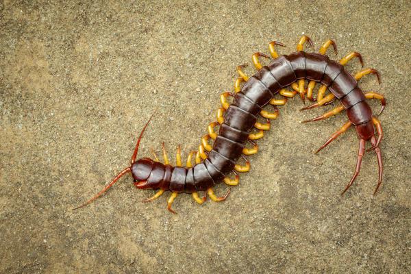 Os quilópodes apresentam o corpo dividido em cabeça e tronco.