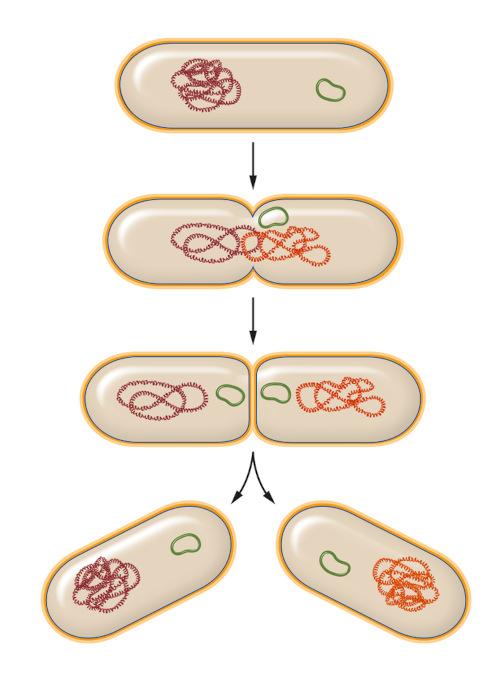 As bactérias podem se reproduzir por divisão binária.
