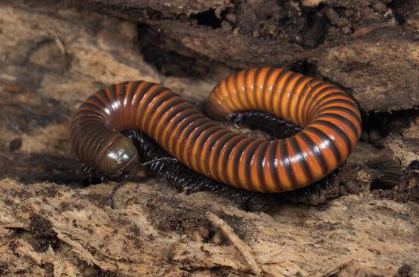 Os diplópodes apresentam corpo alongado e várias patas.