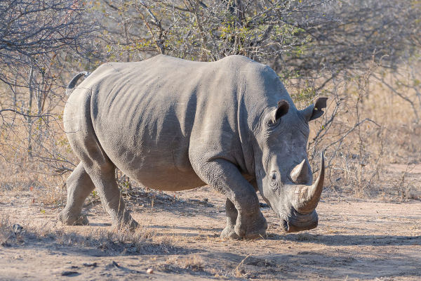 Os rinocerontes são mamíferos de grande porte encontrados na África e Ásia. Na figura podemos observar o rinoceronte-branco.