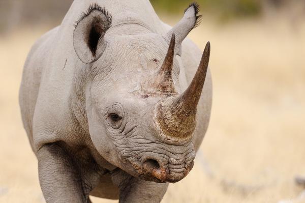 Os rinocerontes-negros podem atingir 1400 kg.