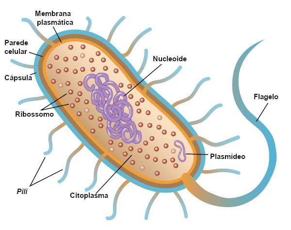 Observe as principais partes de uma bactéria.