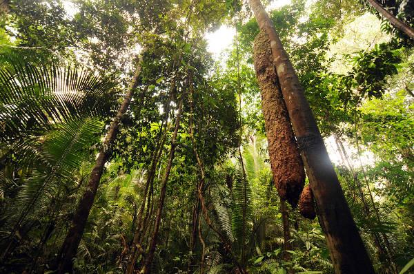 Imagem de vegetação típica da Floresta Amazônica.