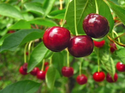 A cereja é uma fruta que possui propriedades que beneficiam a saúde