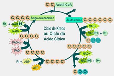 Resultado de imagem para ciclo de krebs quantidade de ATP produzida no eucariontes