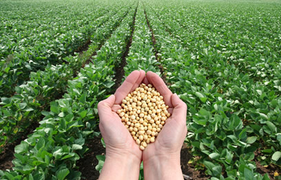 A Região Centro-Oeste é a segunda maior produtora de soja no Brasil.