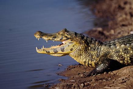 Os jacarés exercem um papel fundamental em relação à regulação da quantidade de peixes no Pantanal.