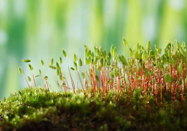 Os musgos são representantes do grupo das briófitas.