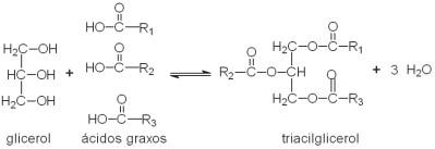 Triacilglicerol.