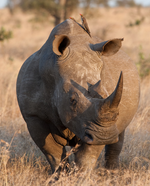 Os rinocerontes apresentam cornos diferentes; neles, estas estruturas não são pareadas e não têm formação óssea, além de estarem na linha do nariz