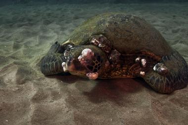 Os tumores que cresceram em uma tartaruga-verde foram causados por pesticidas e poluição