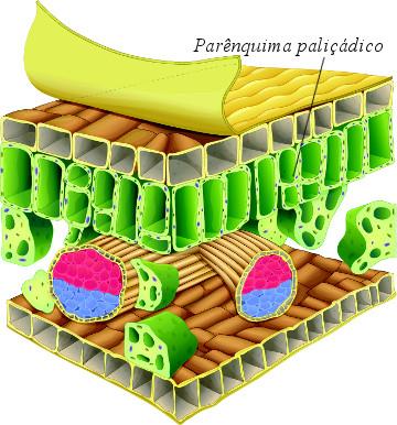 Observe a posição do parênquima paliçádico nesse corte de uma folha