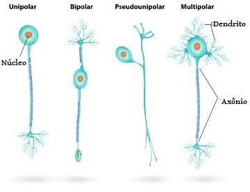 Observe a classificação dos neurônios segundo a sua forma