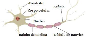 Verifique o nome correto de cada uma das partes do neurônio