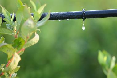 Irrigação por gotejamento em uma lavoura de mirtilo (blueberry)