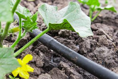 Cultivo de vegetais realizado por gotejamento