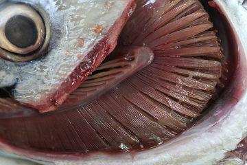 As brânquias garantem a respiração dos peixes