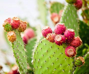 Os cactos, encontrados em regiões de clima quente, são ricos em espinhos