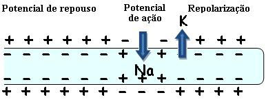 Observe como a entrada e saída de íons mudam o potencial da membrana
