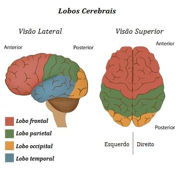 O cérebro apresenta quatro lobos: frontal, temporal, parietal e occipital