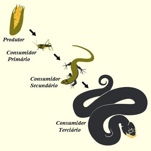 A cadeia trófica inicia-se com o produtor e finaliza-se com o decompositor, que nem sempre é representado