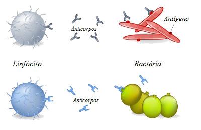 Ação do anticorpo