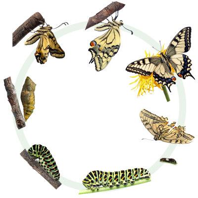 A borboleta é um organismo que sofre metamorfose completa