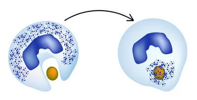 Os leucócitos podem realizar o processo de fagocitose, no qual há a digestão de partículas invasoras