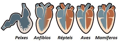 Observe as diferenças anatômicas dos corações dos diferentes grupos de vertebrados