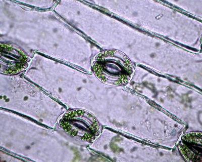 Na foto acima, é possível observar a epiderme vegetal e vários pontos verdes que correspondem aos cloroplastos