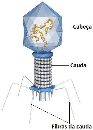 Observe as principais partes de um bacteriófago