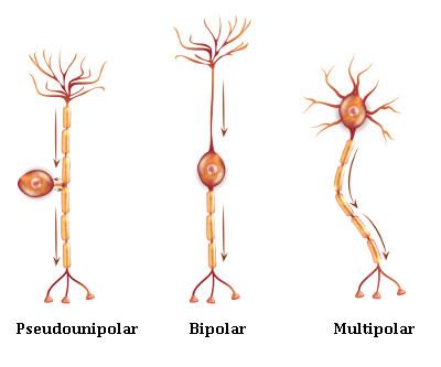 Principais tipos de neurônios existentes