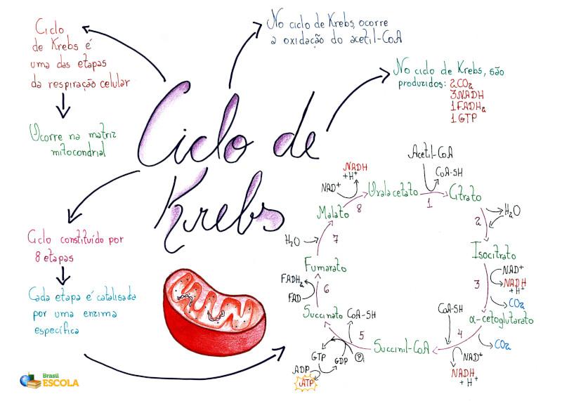 localização celular do ciclo de krebs