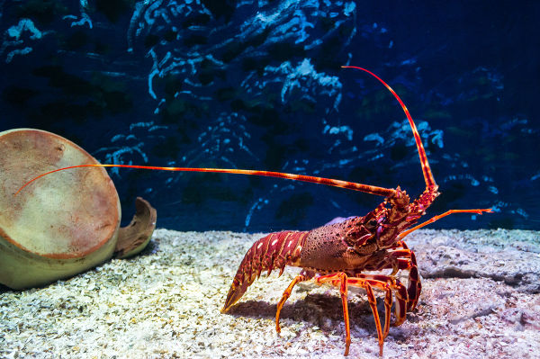 As lagostas são crustáceos do grupo dos decápodes.