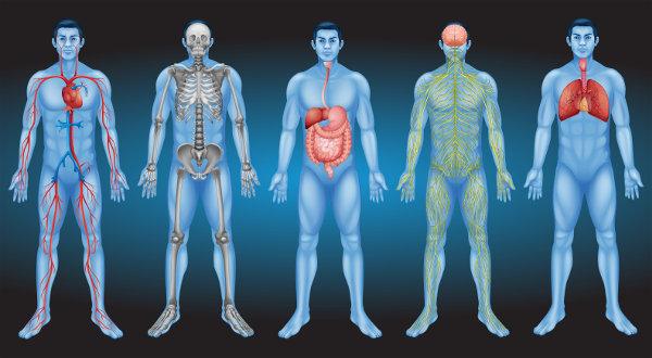 O corpo humano apresenta vários sistemas, que garantem, por exemplo, a captação de oxigênio, o aproveitamento de nutrientes e a locomoção.