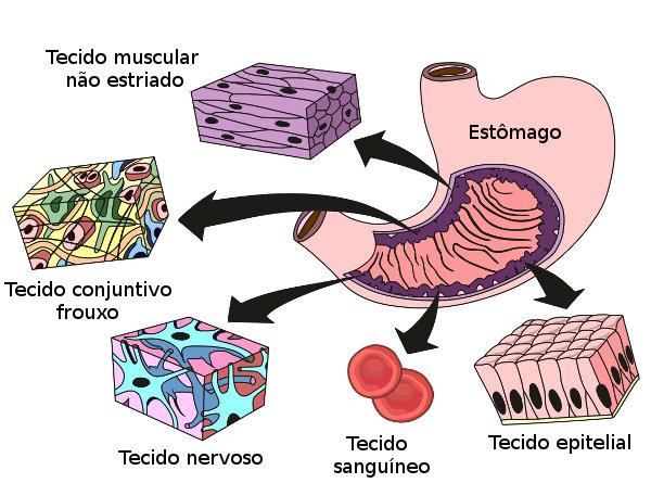Observe os vários tecidos encontrados no estômago, um órgão do sistema digestório.