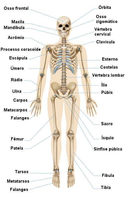 Veja os nomes de alguns dos principais ossos do esqueleto humano.