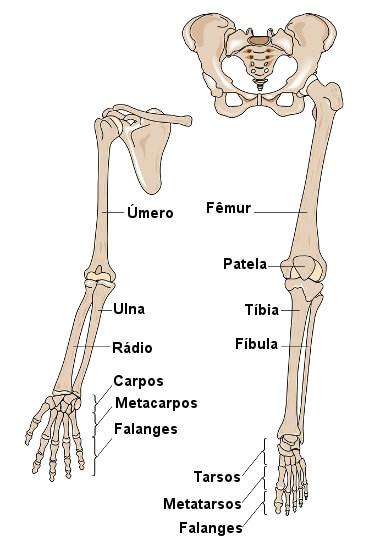 Observe os ossos que formam os membros inferiores e superiores.